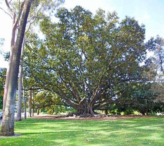 Moreton Bay Fig
