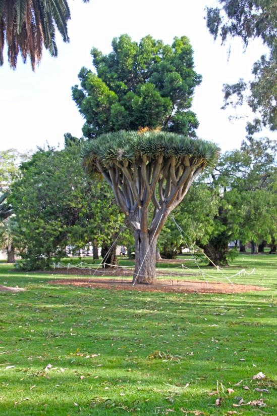 Trees, Fraser Avenue, Kings Park, Perth, Western Australia